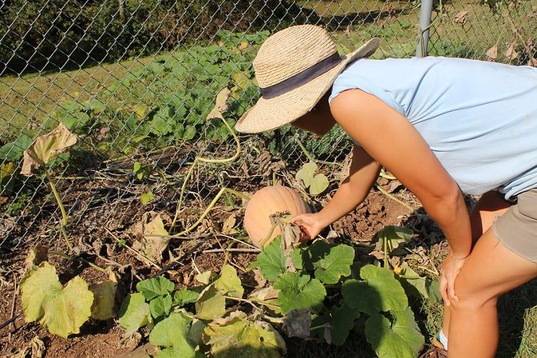 Chov examines the effects the rainfall has had on the pumpkin plants.  Jessica Carr/TNJN
