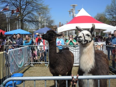 Llamas were paired with a local celebrity and a school to compete in the race. Gabrielle O'Neal