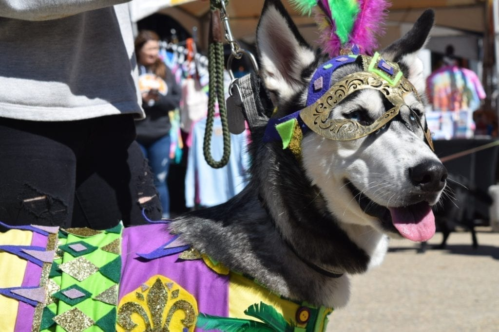 This husky participates in one of the many contests at the Mardi Growl in Knoxville, Tennessee on March 7, 2020. Photo/Amber Scruggs