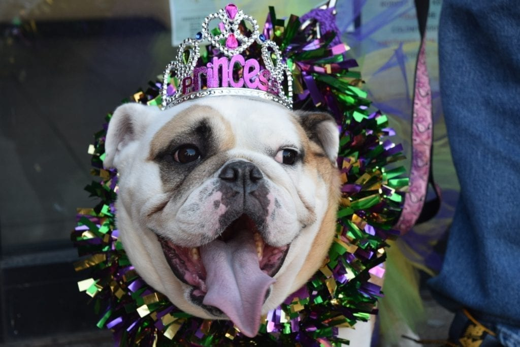"This bulldog wears a ""princess"" crown at the Mardi Growl in Knoxville, Tennessee on March 7, 2020. Photo/Amber Scruggs"