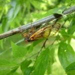 Insects Bugging You? Local Cicada Expert Discusses Entomology